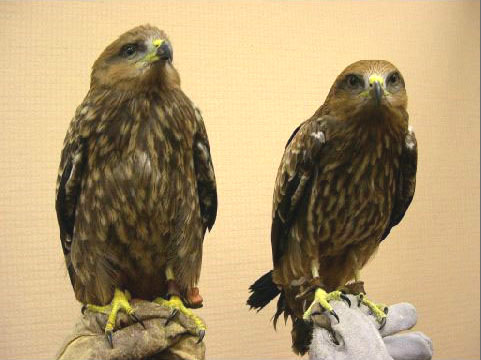Black Kites (sister and brother)