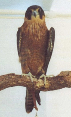 Little Falcon (Falco longipennis)