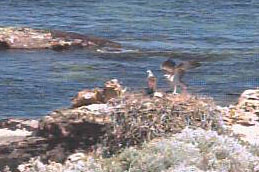 Osprey Nest at Rottnest Island